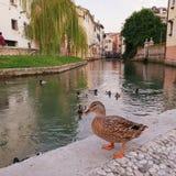 Eend door rivier in Treviso Italië stock afbeeldingen