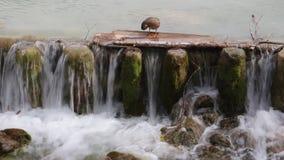 Eend in een kleine waterval stock footage