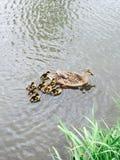 Eend en duckies Stock Afbeeldingen