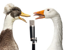 Eend en gans het zingen in een geïsoleerde microfoon, Royalty-vrije Stock Foto