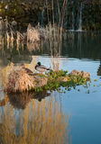 Eend en mannetjeseend op een klein eiland in de vijver Royalty-vrije Stock Fotografie