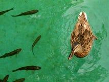 Eend en Vissen Royalty-vrije Stock Foto's