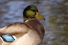 Eend in Gouden Water Royalty-vrije Stock Afbeelding