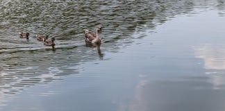 Eend in het meer Stock Foto's