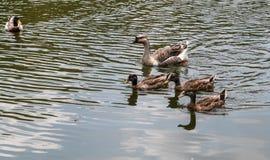 Eend in het meer Royalty-vrije Stock Foto's