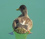 Eend in het meer Royalty-vrije Stock Fotografie