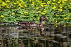 Eend in het meer en de gele bloemen Stock Foto's