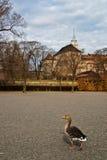 Eend in het park van Oslo Royalty-vrije Stock Afbeeldingen