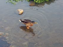 Eend het verfrissen zich in ondiep water stock afbeeldingen