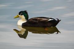 Eend in het water Royalty-vrije Stock Foto