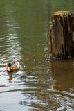 Eend in het water Stock Afbeelding