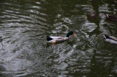 Eend in het water royalty-vrije stock afbeeldingen