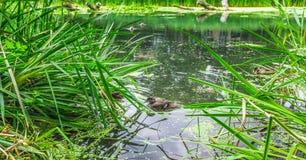 Eend het zwemmen Royalty-vrije Stock Foto's