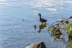 Eend met eendje op de vijver die met industrieel afval wordt verontreinigd Stock Fotografie