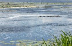 Eend met kroost die op de rivier drijven royalty-vrije stock foto's