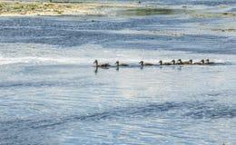 Eend met kroost die op de rivier drijven royalty-vrije stock afbeeldingen