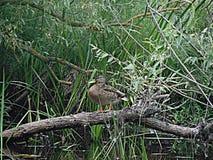 Eend op de boom Stock Afbeelding