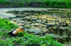 eend op een vijver Stock Foto