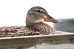Eend op haar Nest royalty-vrije stock fotografie
