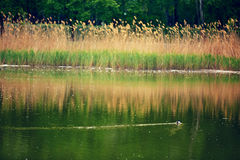 Eend op het meer Stock Afbeelding