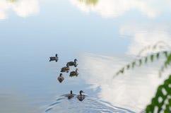 Eend op het meer Royalty-vrije Stock Afbeelding
