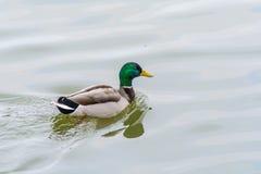Eend op het Water Royalty-vrije Stock Foto's