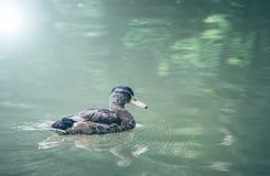 Eend op het water royalty-vrije stock foto