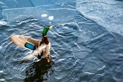 Eend op het water stock foto's