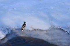 Eend op ijs Royalty-vrije Stock Foto's