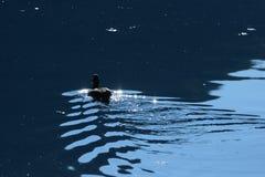 Eend op Jajce-meer in Bosnië-Herzegovina Stock Fotografie