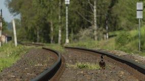 Eend op spoorwegspoor in zonnige dag Stock Afbeeldingen