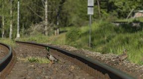 Eend op spoorwegspoor in zonnige dag Royalty-vrije Stock Afbeelding