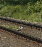 Eend op spoorwegspoor in zonnige dag Royalty-vrije Stock Afbeeldingen