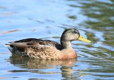Eend op water royalty-vrije stock fotografie