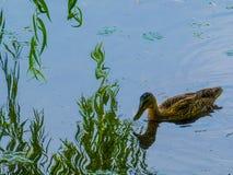 Eend op water Royalty-vrije Stock Foto