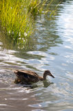 Eend in rivier met gras Stock Foto's