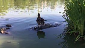 Eend in Schildpadvijver in de Zomer in Central Park stock footage