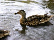 Eend in Water Stock Afbeeldingen