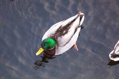 Eend in water terwijl de winter stock afbeeldingen