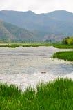 Eend in Weide met Rich Water Stock Afbeeldingen