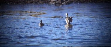 Eenden in Bevroren Water stock afbeelding