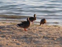 Eenden bij het strand Royalty-vrije Stock Foto