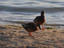 Eenden bij het strand Stock Foto's