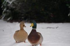 Eenden in de sneeuw Royalty-vrije Stock Fotografie