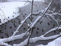 Eenden in de de wintervijver stock footage
