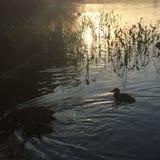 Eenden die bij zonsondergang zwemmen Royalty-vrije Stock Foto's