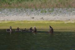 Eenden die in de rivier zwemmen Royalty-vrije Stock Afbeelding