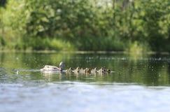 Eenden die in de vijver zwemmen Stock Afbeelding