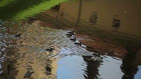 Eenden die in de vijver zwemmen stock video