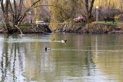 Eenden die in een landelijke vijver zwemmen Stock Afbeelding